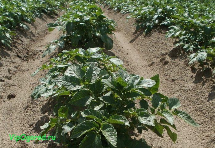 Правильный уход за картофелем (окучивание, полив, подкормка)