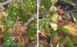 Вертиллёзное увядание малины или вилт