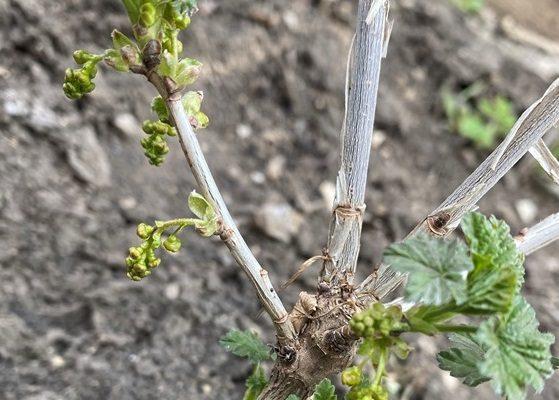 Способы размножения смородины с собственных кустов