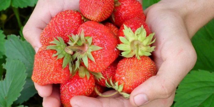 Как собрать большой урожай клубники на даче