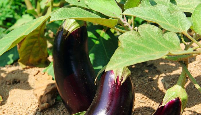 Как вырастить хороший урожай баклажан