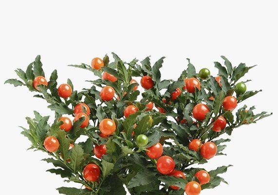 Цветок Соланум — описание, фото, уход в домашних условиях