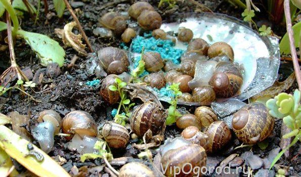 Как избавиться от улиток и слизней на огороде