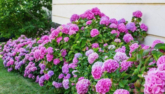 Гортензия — уход и выращивание в саду весной