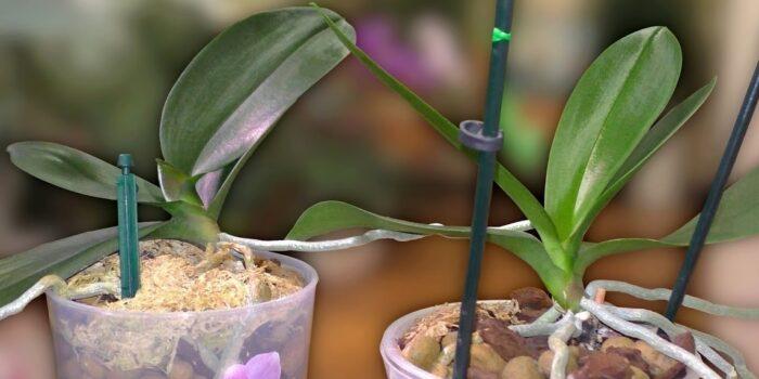 как отсадить детку орхидеи правильно