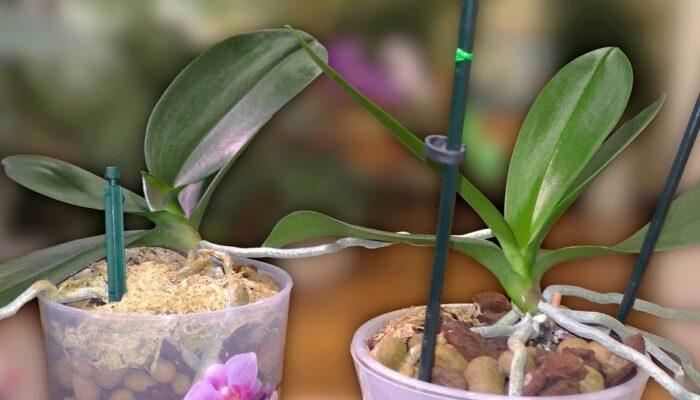 Как пересадить детеныша орхидеи в домашних условиях