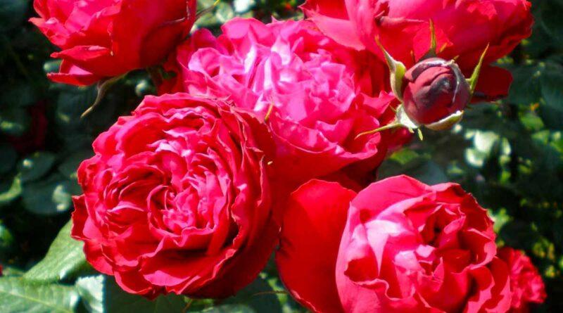 Бурбонская красная роза