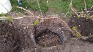подготовка виноградной ямы для посадки саженца