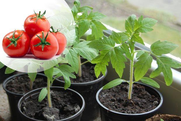 посадка томатов на рассаду весной