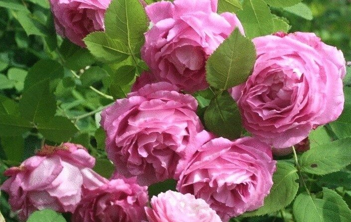 Ремонтантная розовая роза