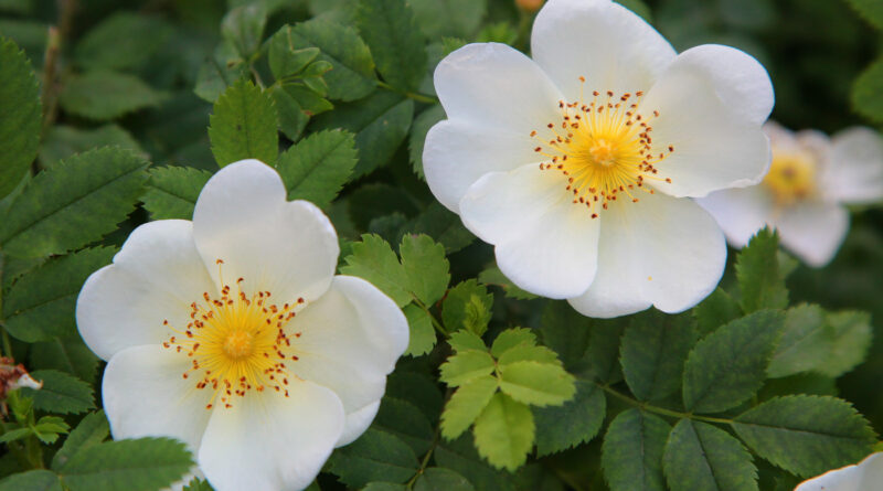 роза Спинозиссима белая
