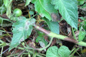 серая гниль на помидорах как выглядит