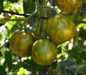 сорт помидор зеленая зебра