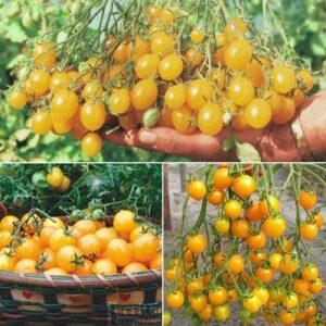 сорт томата Золотая россыпь