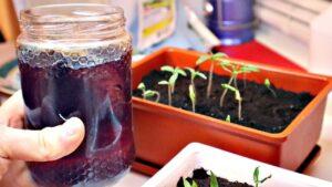 удобрение рассады томатов весной