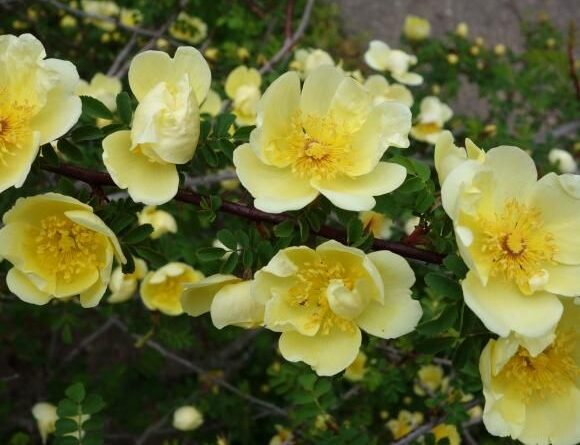 желтая роза Фетида