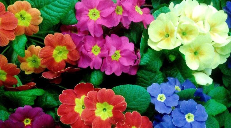 многолетние цветы примула
